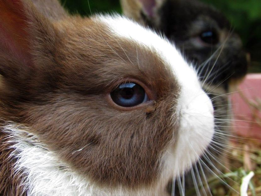 El conejo holandés enano se compra en tiendas de animales