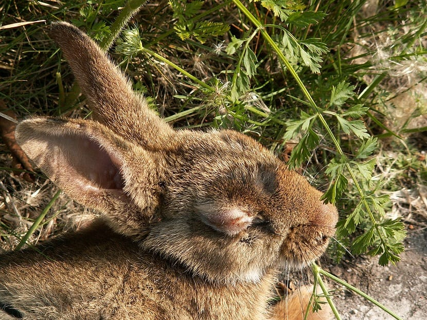 mixomatosis en conejos