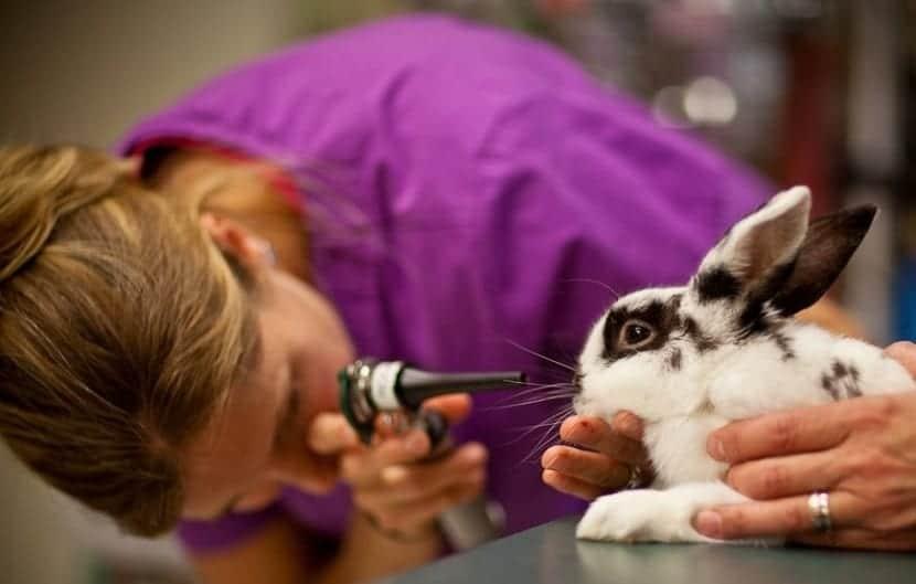 sintomas de las enfermedades de conejos