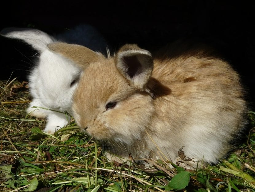 Los conejos pueden tener camadas grandes