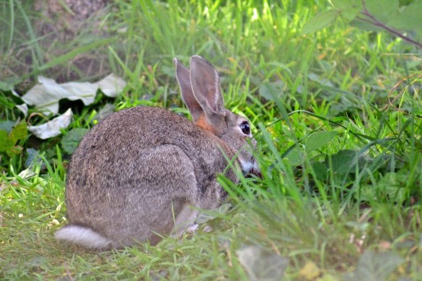 Los conejos comen hierbas que forman céspedes