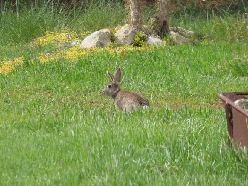 El conejo suele vivir en el campo