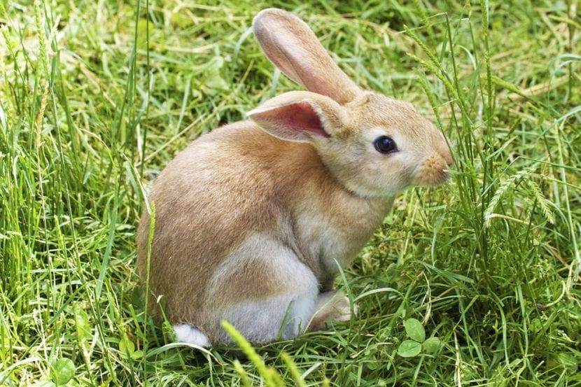 Los conejos jóvenes no se separan mucho de su familia