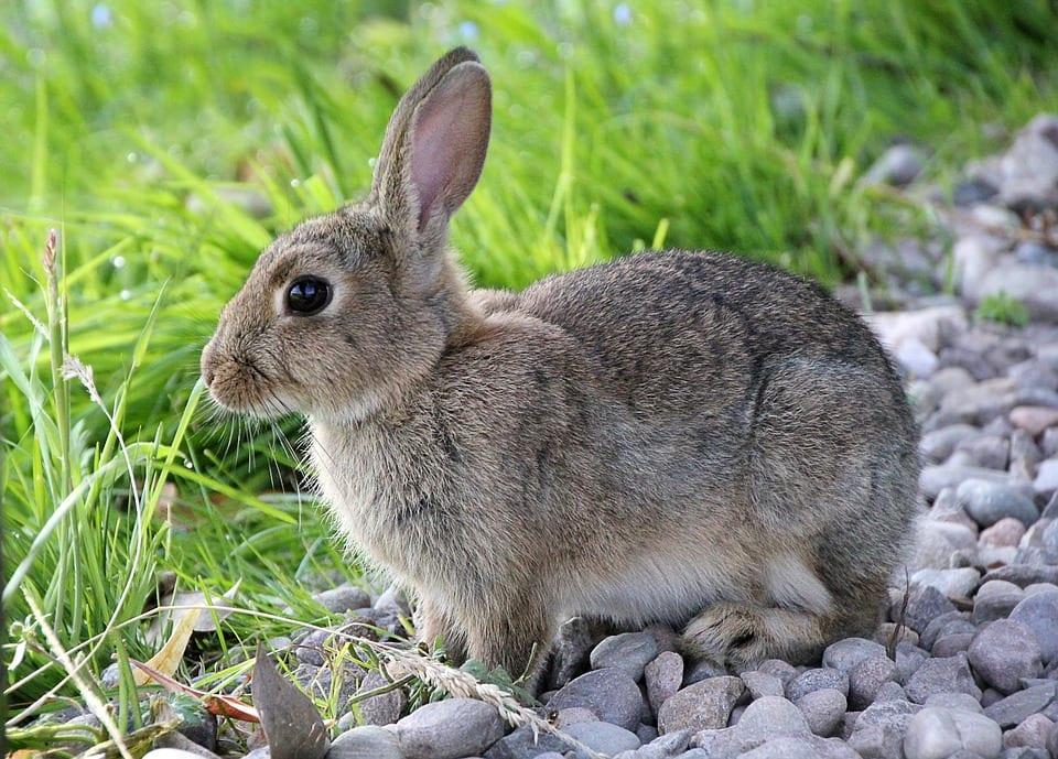 Los conejos salvajes son muy asustadizos