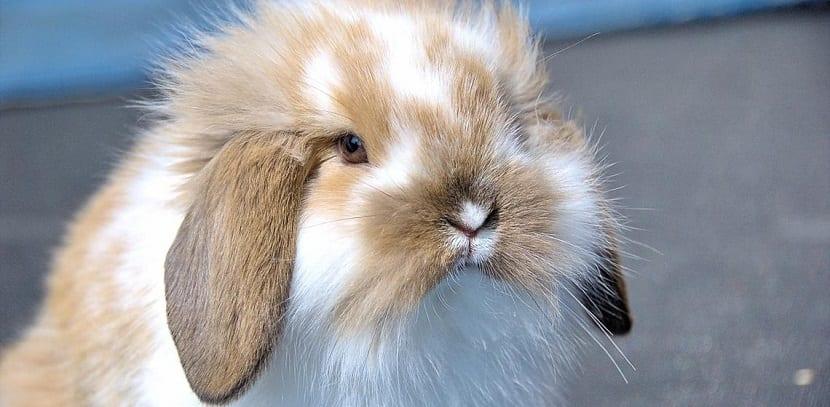 la importancia del pelo en un conejo