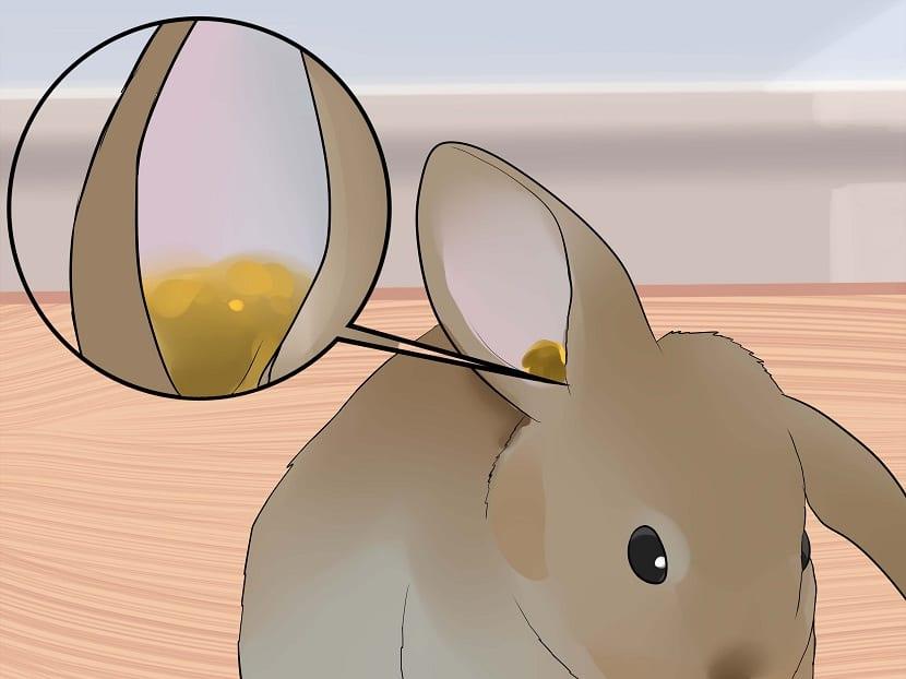 Cómo limpiar la oreja al conejo