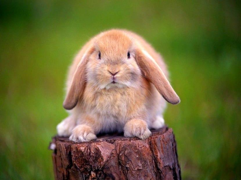 Orejas caidas de conejo