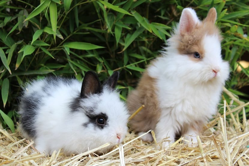 Orejas del conejo