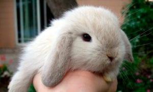 Conejo doméstico